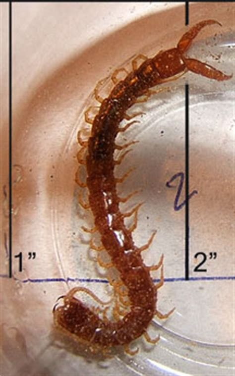 Centipede - What's That Bug?