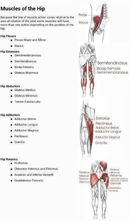 Muscles of the hip and their actions