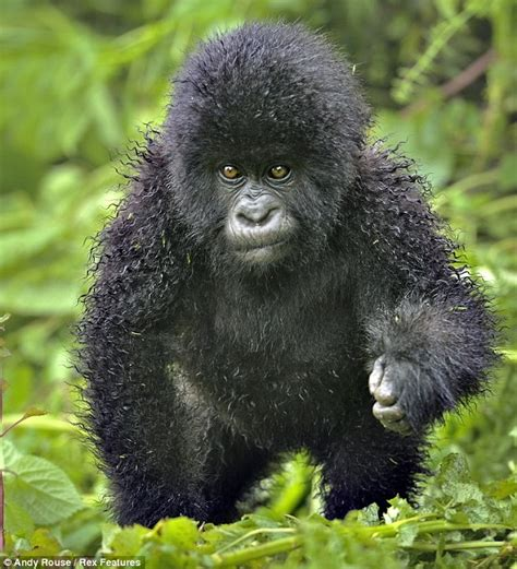 Gorrilas made famous by Dian Fossey's book 'Gorillas in