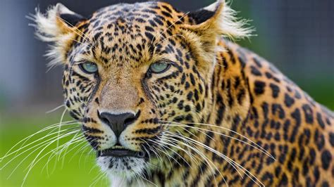 What Is the Difference Between a Cheetah and a Leopard