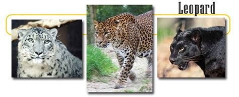 Leopards - info and games